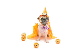 Funny Cute Pug Dog sitting and tongue sticking out with Happy Halloween day Stock Photos