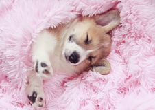 cute puppy sleeps sweetly in bed wrapped in a soft pink fluffy blanket with his eyes closed and sticking out his paws royalty free stock photography
