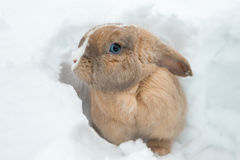 Funny cute rabbit with blue eyes sitting in snow. Stock Photo