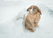 Funny cute rabbit with blue eyes standing in snow. Royalty Free Stock Photo