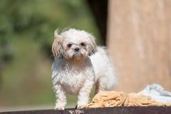 Funny Cute Shih-tzu puppy dog after bath royalty free stock photos