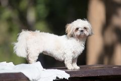 Funny Cute Shih-tzu puppy dog after bath.  royalty free stock image