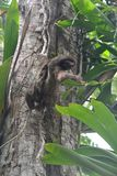 Sloth hanging in a tree in Bocas del Toro Panama. Funny and cute sloth hanging on a branch in the forest on the island of Carenero on the archipelago of Bocas royalty free stock images