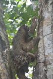 Sloth hanging in a tree in Bocas del Toro Panama. Funny and cute sloth hanging on a branch in the forest on the island of Carenero on the archipelago of Bocas royalty free stock image