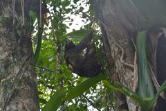 Sloth hanging in a tree in Bocas del Toro Panama. Funny and cute sloth hanging on a branch in the forest on the island of Carenero on the archipelago of Bocas stock photos