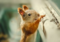 Funny cute Squirrel on the branch Stock Photography