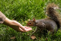 Funny cute squirrel is eating from hand Royalty Free Stock Photos