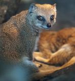 Funny and cute suricate (meerkat Stock Photography