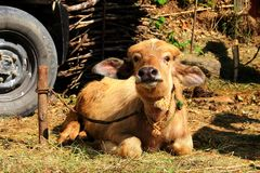 Funny cute tied calf with big ears lies on cattle farm and looks at camera. Funny cute tied with rope calf with big ears lies on cattle farm and looks at camera Stock Images