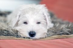 Funny cute white puppy Napping on the couch