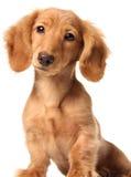 Funny dachshund Stock Image