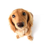 Funny dachshund. Funny little dachshund distorted by wide angle closeup. Focus on the eyes Stock Images