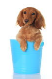 Funny dachshund. Cute dachshund in a  blue pail Royalty Free Stock Image