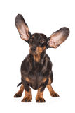 Funny dachshund dog with ears in the air Royalty Free Stock Photos