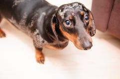 Funny dachshund dog Stock Photo