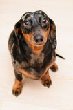 Funny dachshund dog Stock Images
