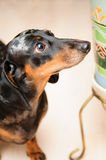 Funny dachshund dog Stock Photo