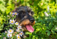 Funny dachshund dog on a walk and summer flowers royalty free stock images