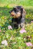 Funny dachshund dog on a walk and summer flowers stock images