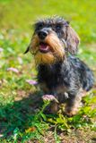 Funny dachshund dog on a walk and summer flowers stock photography