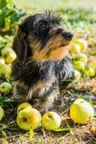 Funny dachshund dog on a walk under a tree with apples. royalty free stock photos