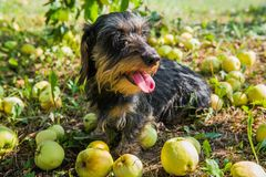 Funny dachshund dog on a walk under a tree with apples. royalty free stock photo