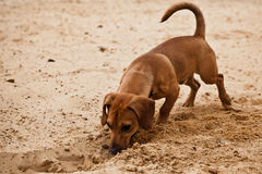 Funny dachshund puppy is digging hole on beach. Sand Stock Photography