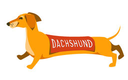 Funny dachshund running with a cape and an inscription with the name of the breed on the back. Royalty Free Stock Images