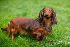 Funny dachshund standing grass Stock Image