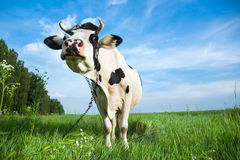 Free Funny Dairy Cow On A Pasture Stock Images - 31819764