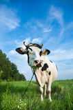 Funny dairy cow on a pasture Stock Images