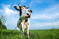 Funny dairy cow on a pasture. Funny black and white colour dairy cow on a pasture with fresh green grass Stock Photos