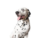 Funny dalmatian dog with tongue hanging out. Royalty Free Stock Image