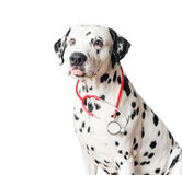 Funny dalmatian dog with red stethoscope. Beautiful black and white spotted dalmatian dog red stethoscope. Ears lowered, little pink tongue hanging out Stock Photo