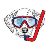 Funny Dalmatian in a mask for diving.  Stock Images