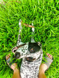 A funny dalmatian on a yard. A funny dalmatian is enjoying and have a good time Stock Photography