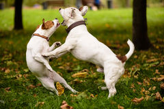 Funny dance of two dogs. Pair of Jack Russell Terrier playing love game Royalty Free Stock Images