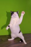 Funny dancing cat. Cat standing on hind legs Royalty Free Stock Photos