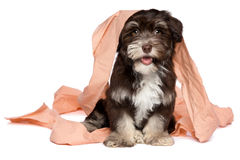 Funny dark chocolate havanese puppy is playing with toilet paper. Funny smiling dark chocolate havanese puppy dog is playing with peach toilet paper, isolated on Stock Photos