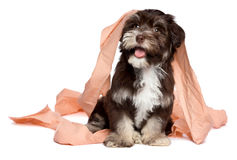 Funny dark chocolate havanese puppy is playing with toilet paper Stock Images
