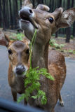 Funny Deer Royalty Free Stock Photo