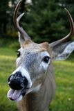 Funny Deer Face. A white tailed deer sticking his tongue out royalty free stock photo