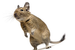Funny degu Royalty Free Stock Photo