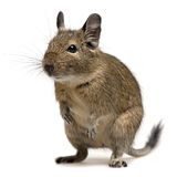 Funny degu Stock Photography