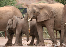 Funny Desert Elephants Royalty Free Stock Photography