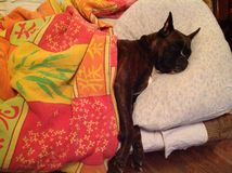 Funny deutch Boxer sleeping on bed Royalty Free Stock Images