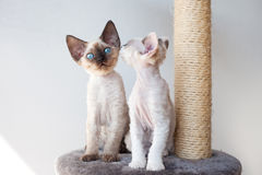 Funny devon rex kittens on the scratching post. Portrait of cute cats talking Stock Photo
