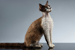 Funny Devon Rex Sits in Profile view on Gray Royalty Free Stock Photography