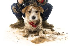 FUNNY DIRTY DOG AND CHILD. JACK RUSSELL DOG AND BOY WEARING BOOTS AFTER PLAY IN A MUD PUDDLE. ISOLATED STUDIO SHOT AGAINST WHITE. BACKGROUND royalty free stock image