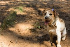 FUNNY DIRTY JACK RUSSELL DOG WITH A VIOLET FLOWER ON ITS HEAD AN. D MUD PUDDLE LIKE BACKGROUND royalty free stock images